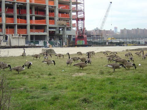 ersp-geese.jpg